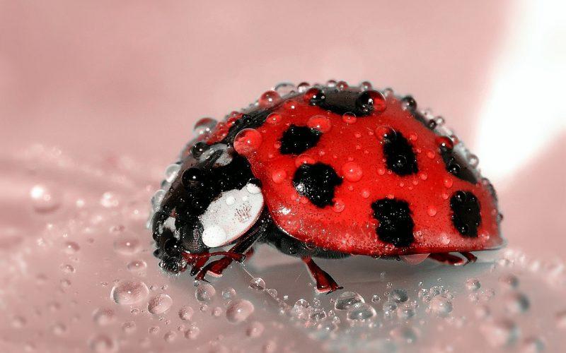 Biologisch bestrijden, met meer insecten!